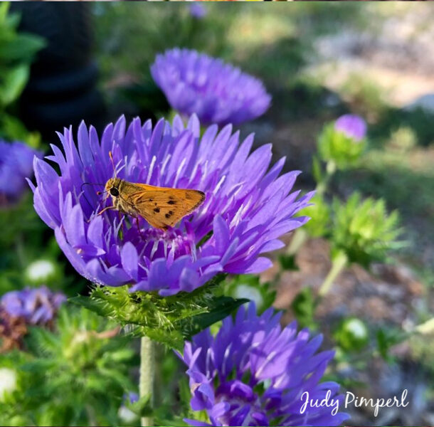 "Orange Butterfly on Purple Stokes Aster - 8"" x 8"" Canvas"